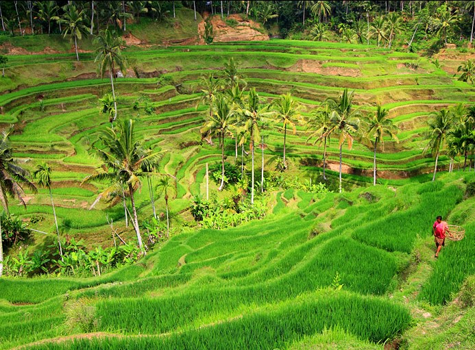 丹麦稻田风景