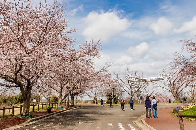 「成田山公園櫻花」的圖片搜尋結果